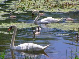 Signets in Sefton Park