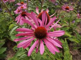 The wonderful echinacea plant
