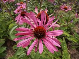 The wonderful echinacea plant