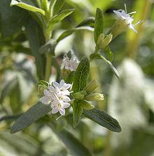 Stevia_rebaudiana_flowers
