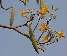 Caribbean_Trumpet_Tree_(Tabebuia_aurea)_fruit_&_flowers_W_IMG_7055