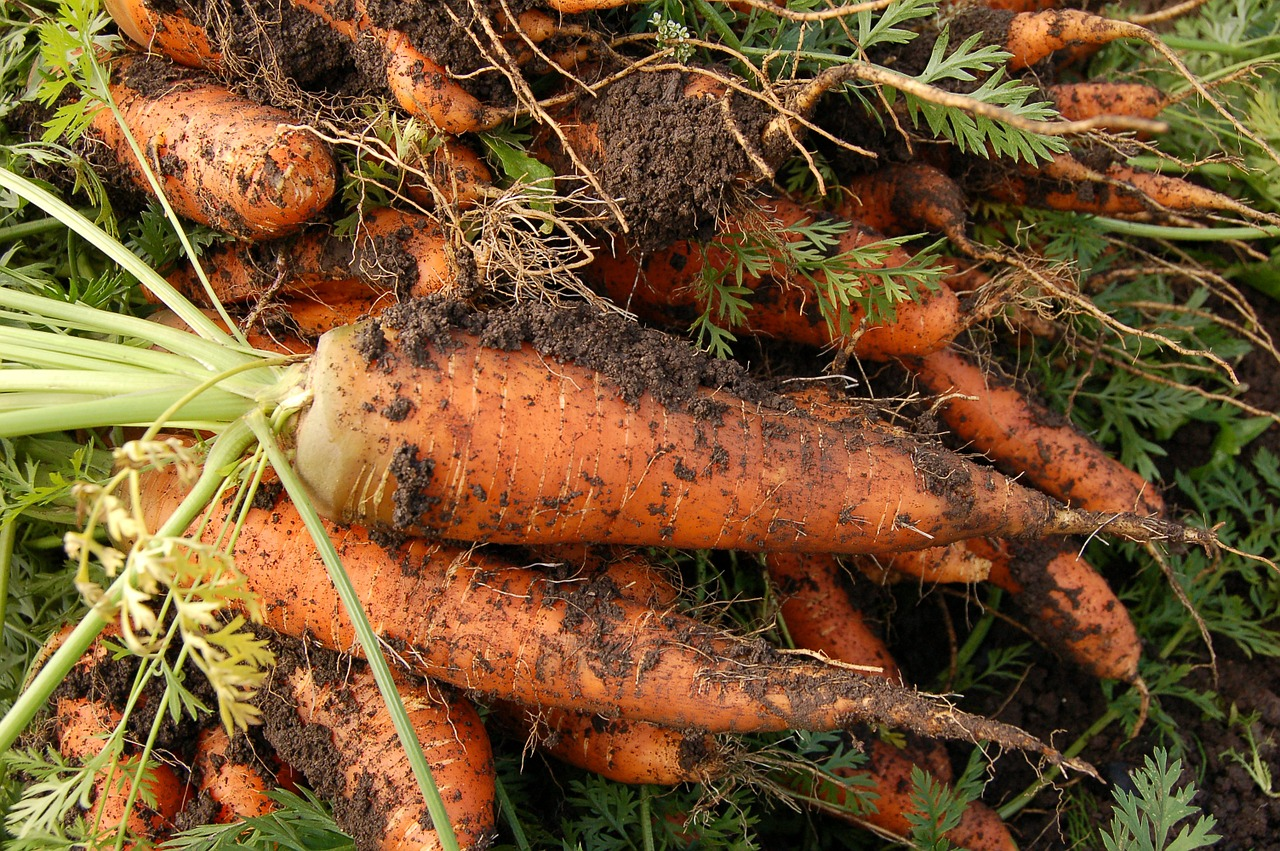 Perfect home grown carrots